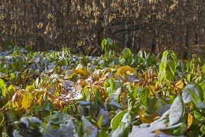 Snowy shrub in autumn forest park