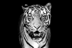 tiger on BW dark background