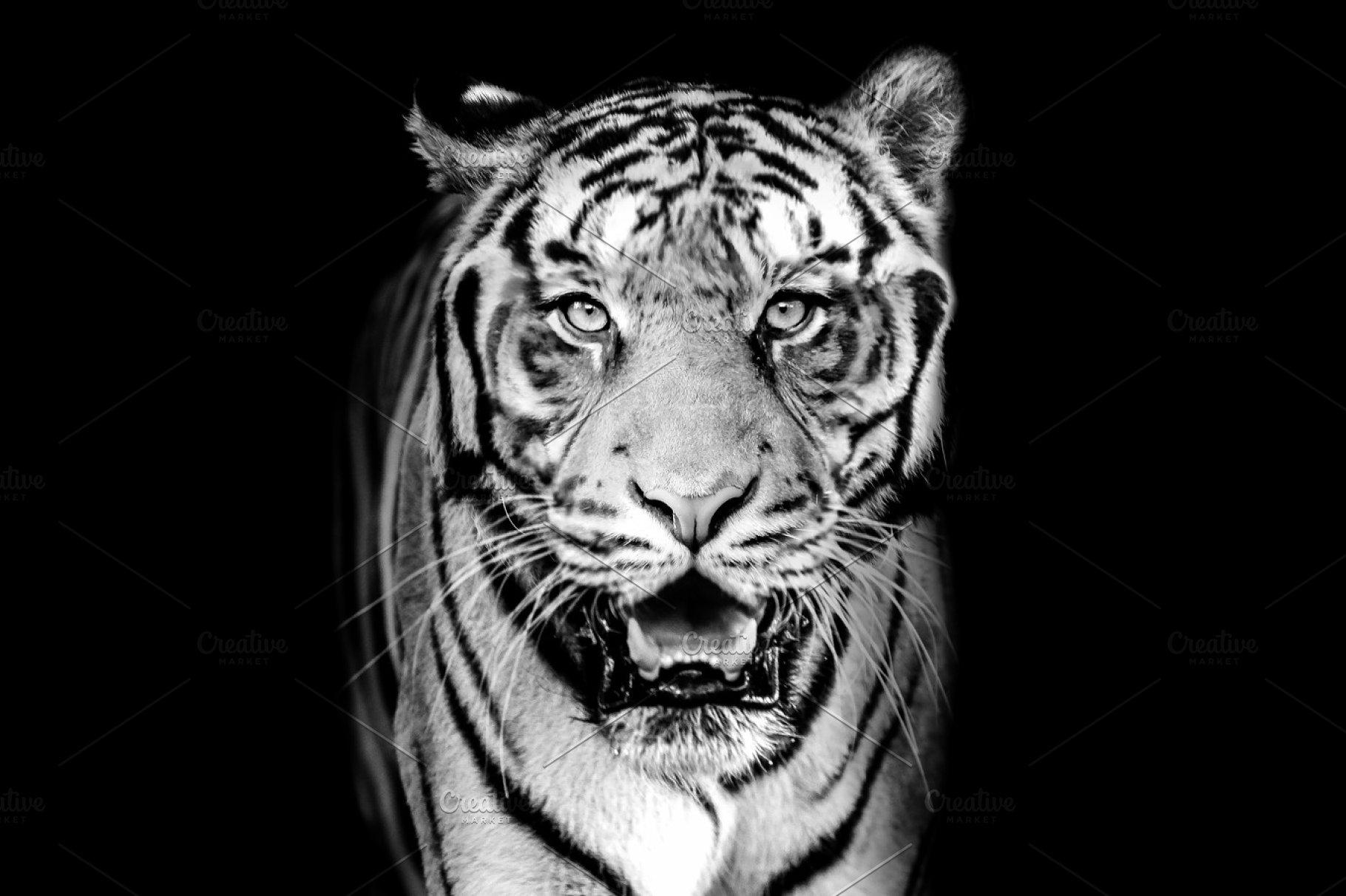 Tiger on bw dark background