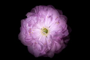 Pink Flower with Round Petals like Petunia Isolated on Black Background.