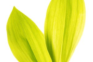 Green lily leafs isolated on white