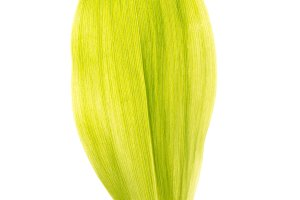 Green lily leaf isolated on white