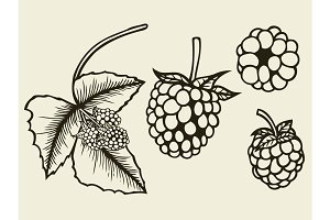 Blackberry hand drawn sketch.