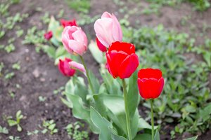 pink and red tulips blooming