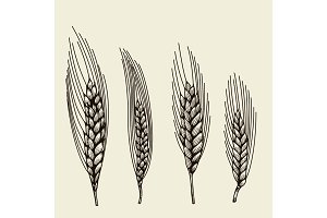 hand drawn wheat ears