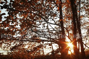 sunset in autumn forest with Orange leaves and branches