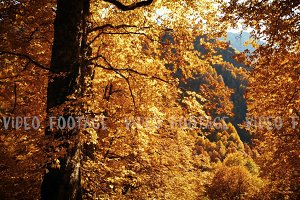 Orange autumn leaves in mountain forest