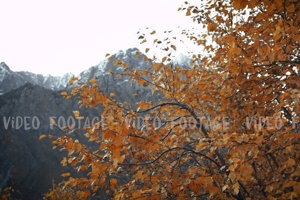 Orange autumn leaves in the wind on…