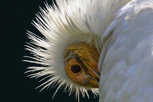 Egyptian vulture 2