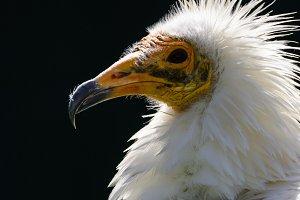 Egyptian vulture 4