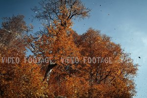 downward movement. Autumn forest. Orange leaves on the tops of beech trees and blue sky