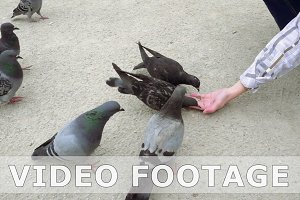 Pigeons pecking and eating food from human hand