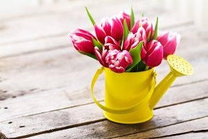 Spring concept with tulips in can