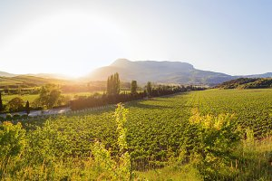 Panorama view on vineyards, Crimea