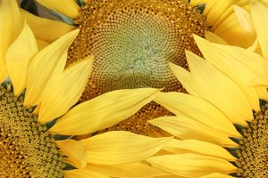 flower background with sunflowers