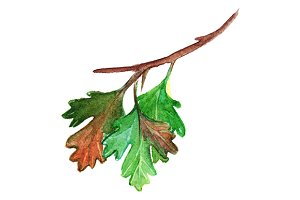 Watercolor gooseberry branch leaf