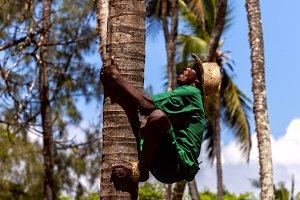 Mombasa, Kenya - 07 January: man climbs a tree to collect coconu