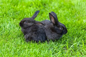Black rabbits.
