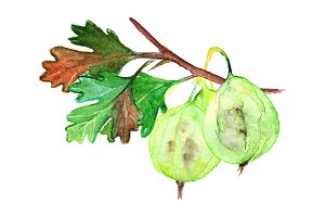 Watercolor gooseberry berry branch