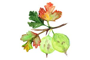 Watercolor green yellow orange gooseberry berry leaf branch isolated