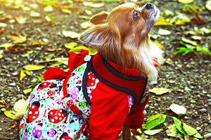 chihuahua dog in femile outdoor dress