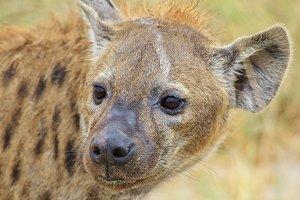 Spotted Hyena - Predator Supreme
