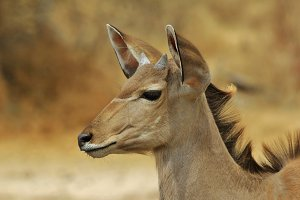 Greater Kudu - Antelope Grace