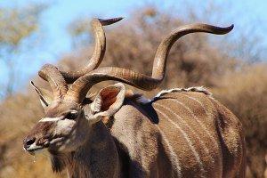Greater Kudu Bull - Pride