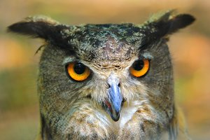 Great Horned Owl - Eye Power