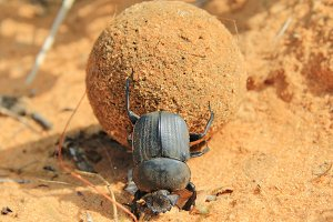 Dung Beetle - Got to love your job