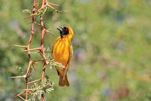 Weaver Gold - Sharp Natural Beauty
