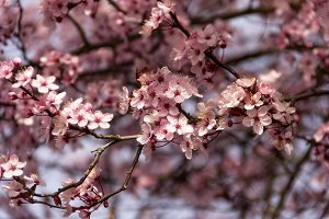 Branches of Plum Blossoms
