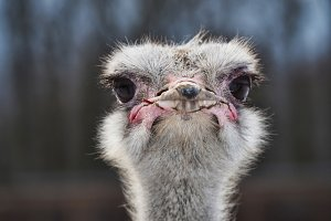The head of an ostrich