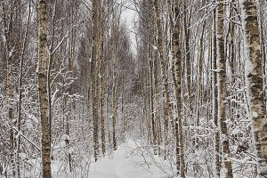 The path in the snowy forest