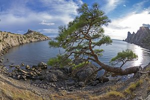 Relict pine tree on the sea shore