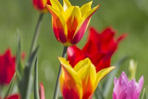 Red and yellow tulips lighted sun on green grass
