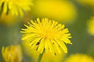 Yellow dandelion flowers on green grass close up