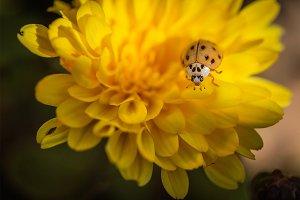 White Ladybug