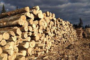 Aspen Logs on Timber Harvest Site