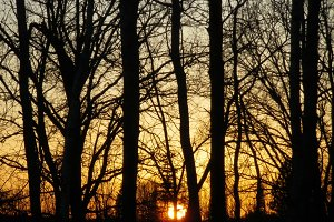 Hardwood Tree Silhouettes at Sunset