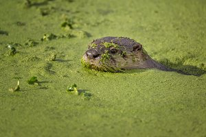 River Otter Swimming in Green Mossy Water