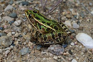 Northern Leopard Frog on Beach