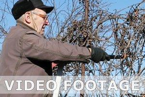Senior elderly man gardener prunes bushes twigs