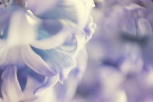 Soft blue-violet hyacinth macro