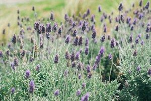 Purple Lavender by the Beach