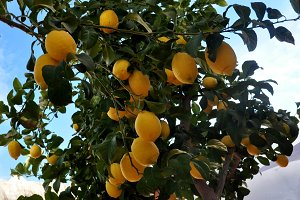 Ripe lemons on the branch