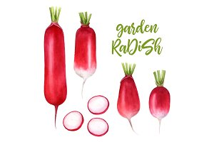 Set radishes, vegetables painted with watercolors on white background. Radish with leaves, half a radish.