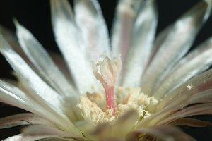 Neochilenia flower