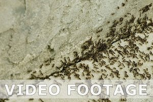 Ants run on the concrete floor with millet grains