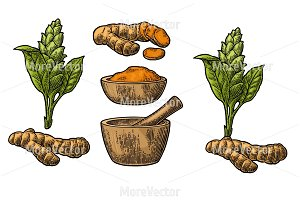 Turmeric root and flower. Hand drawn vector vintage engraved